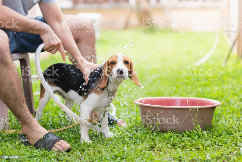 Cute puppy beagle taking a shower royalty-free stock photo