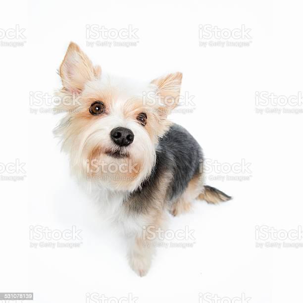 Cute puppy begging picture id531078139?b=1&k=6&m=531078139&s=612x612&h=xunlwog0oqeuwv amiba0ifpfbnrgymaczdloso7eks=