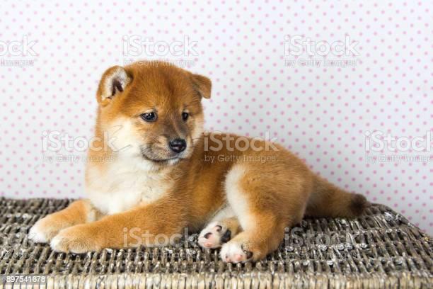 Cute puppy breed shiba inu picture id897541678?b=1&k=6&m=897541678&s=612x612&h=uvnosfnb3l dxdrvuvdfvpmse8trvogputhlxvuwnzm=