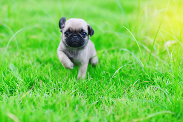cute puppy brown pug - puppy stock pictures, royalty-free photos & images