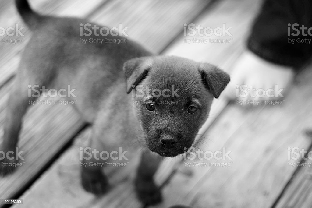 Cute Puppy - B/W royalty-free stock photo