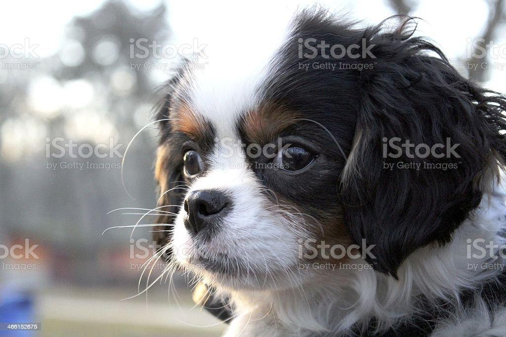Ładny Piesek-cavalier king charles spaniel puppy – zdjęcie