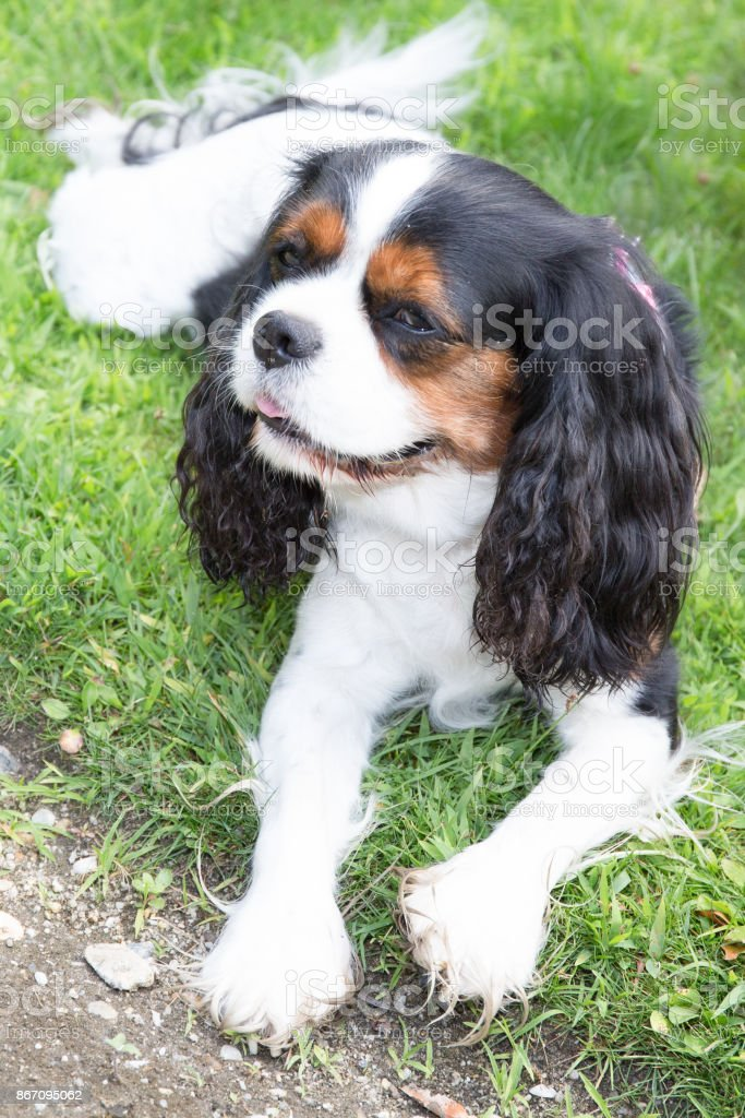 Cute Puppy Cavalier King Charles Spaniel Tricolor Puppy In Park Stock Photo Download Image Now Istock