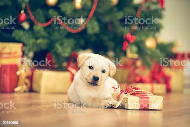 Cute puppy celebrating christmas picture id526806581?b=1&k=6&m=526806581&s=612x612&h=nymzevedop3mwfiwx1ohmot zv4czol wbxn7xlayjk=