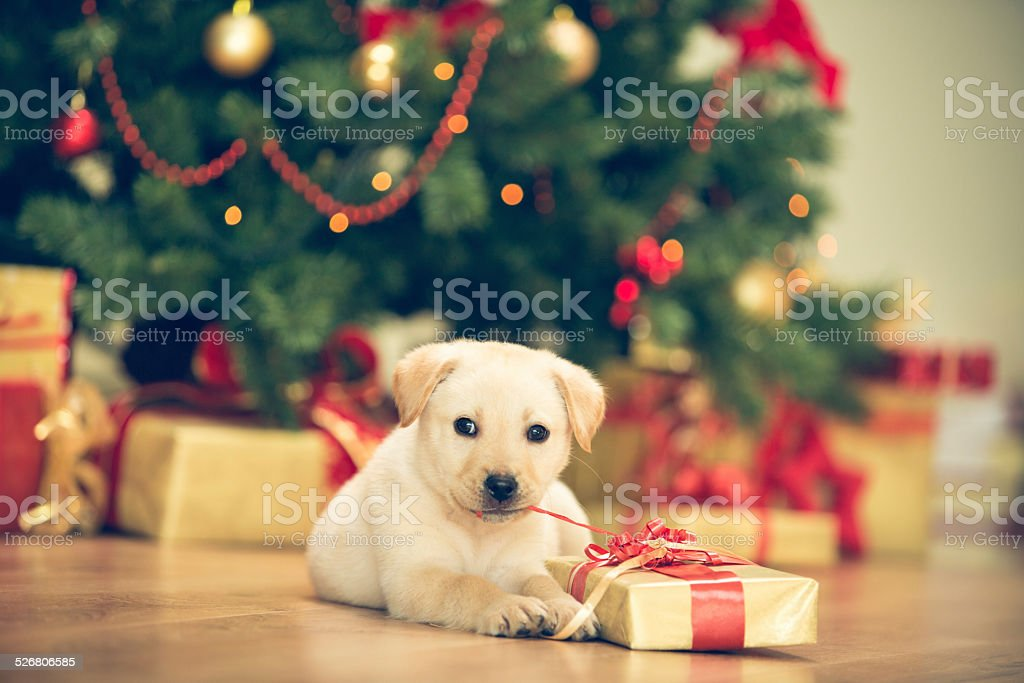 Cute puppy celebrating Christmas stock photo