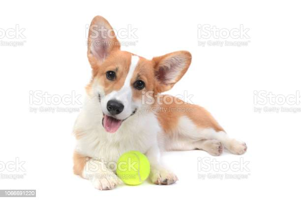 Cute puppy corgi with a ball picture id1066691220?b=1&k=6&m=1066691220&s=612x612&h=ruftdwcziquxbn pj6aqszbyypfzejkrf7bfz2yrkng=