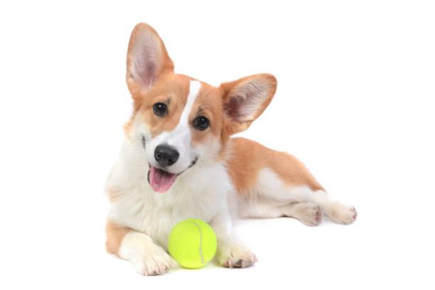 cute puppy corgi with a ball - fotografia de stock