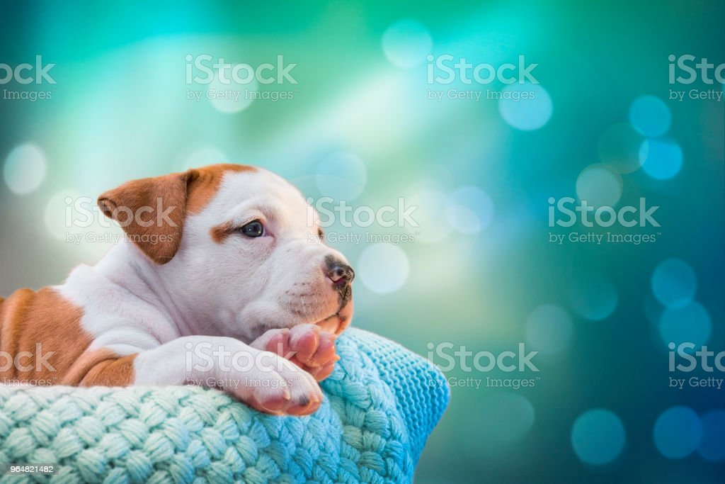 Cute puppy dog American Staffordshire Terrier lies in basket with soft knitted plaid on bokeh light blue-green abstract background. royalty-free stock photo