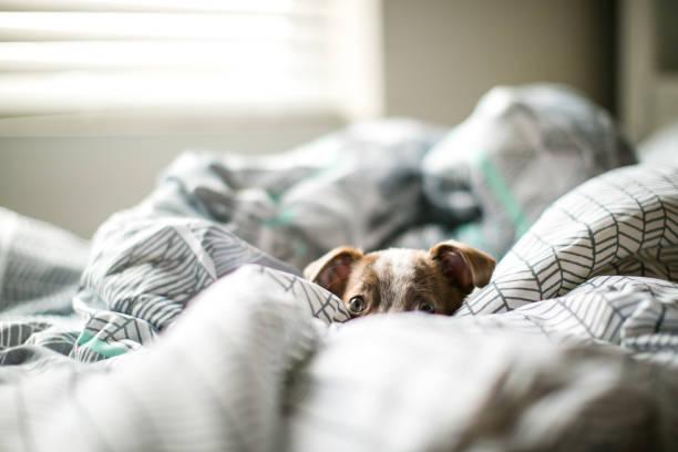 Cute puppy dog chihuahua jack russel mixed breed playing on bed picture id1017051680?b=1&k=6&m=1017051680&s=612x612&w=0&h=dwqjeb0swa6xozdiuo0pu6uhfztdalv8ocxvkilszbu=