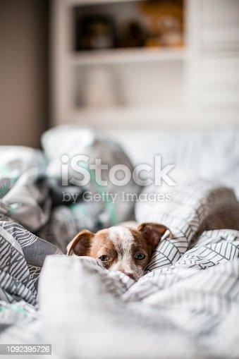Lifestyle photo of a cute Chihuahua Jack Russel Terrier mixed breed puppy dog. She (the dog) is playing on the owners bed in their bedroom.