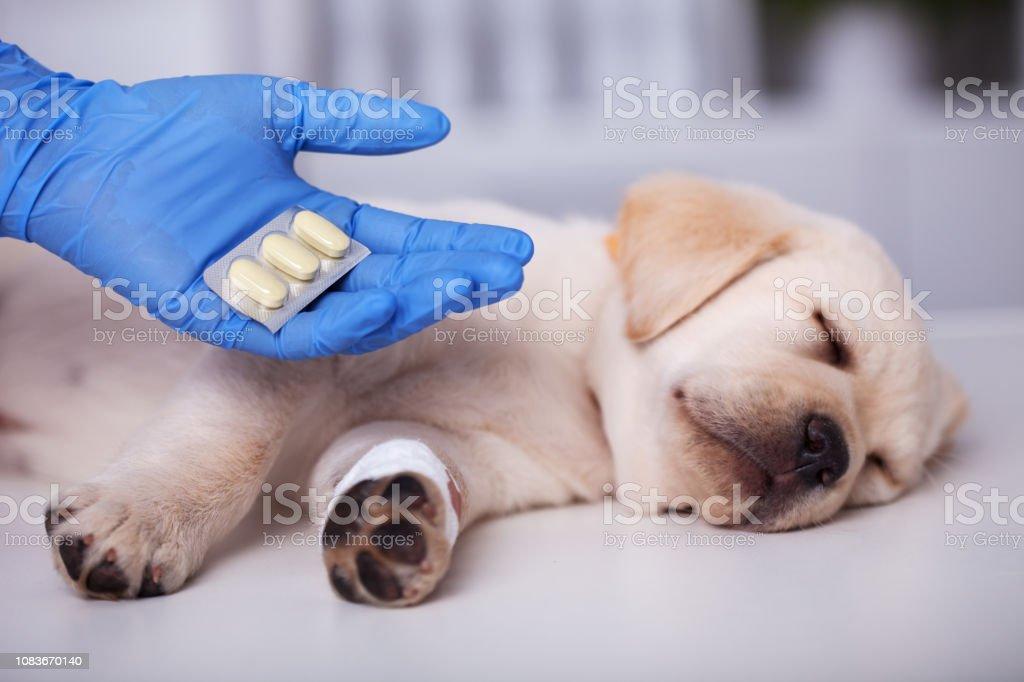 Niedlichen Welpen Hund immer Medikamente nach der Behandlung an den Tierarzt – Foto