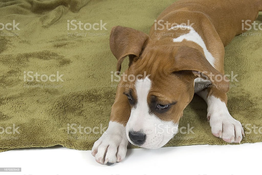 Cute Puppy Dog Looking Away royalty-free stock photo