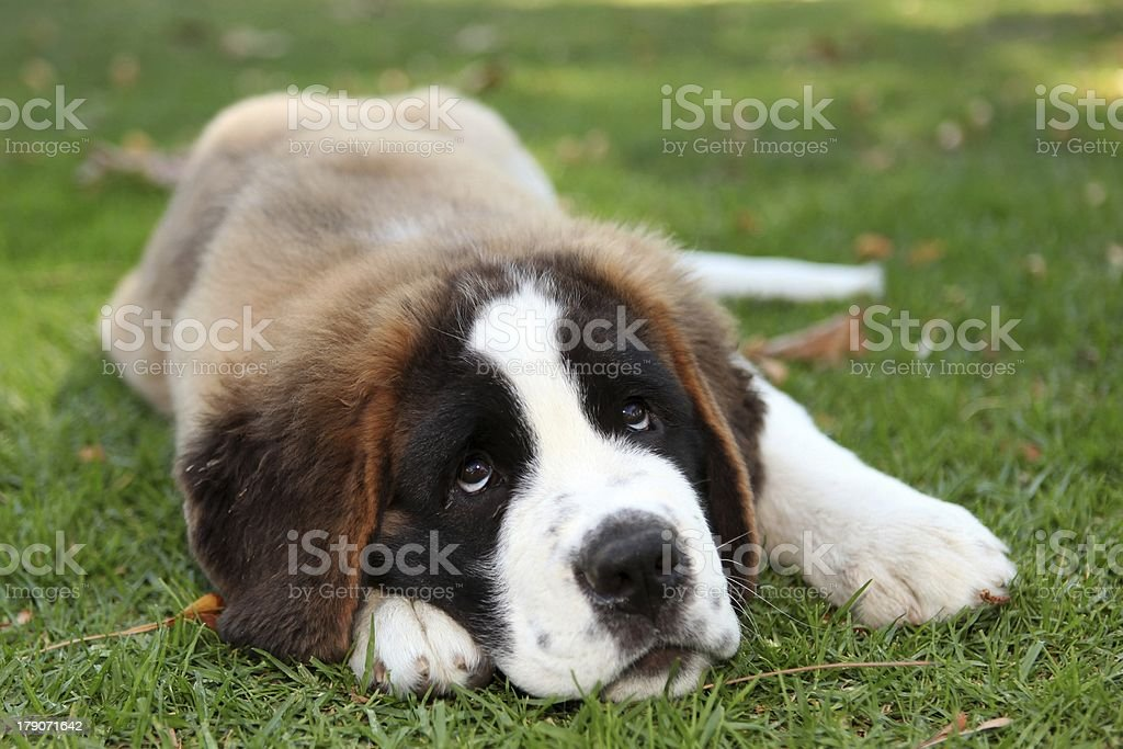 Cute Puppy Dog Outdoors in the Grass royalty-free stock photo