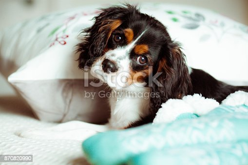 Cavalier King Charles puppy dog posing for the camera sleeping on a bed