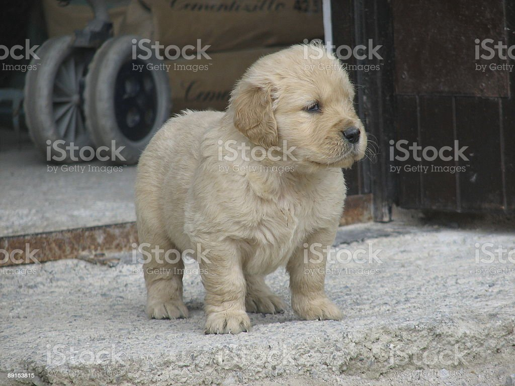 cute puppy dog royalty-free stock photo