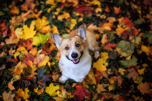 cute puppy dog red Corgi sitting in an autumn Park on the background of bright fallen colorful maple leaves and  devotedly smiling on a Sunny day