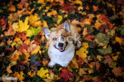 portrait of a cute puppy dog red Corgi sitting in the autumn Park on the grass on the background of bright fallen colorful maple leaves and faithfully smiling on a Sunny day