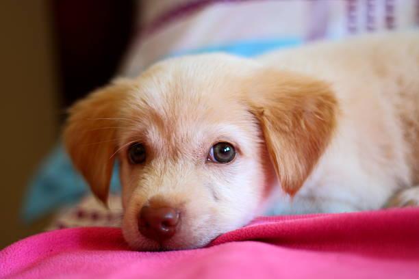 cute puppy dog resting on the bed - jagdthema schlafzimmer stock-fotos und bilder