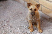 Cute puppy dog Shepherd looking at camera, copy space