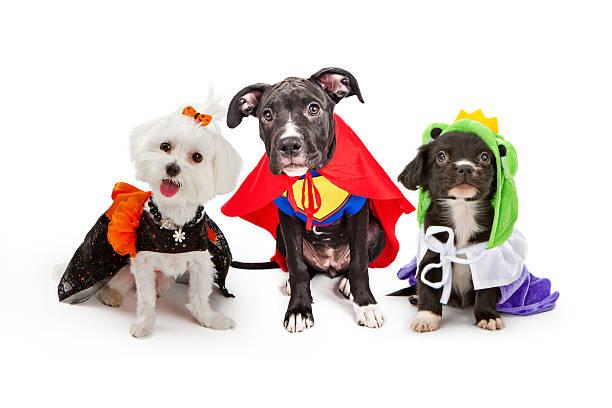 Mignon chiot chiens avec des Costumes d'Halloween - Photo