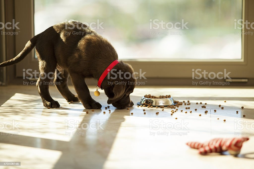 귀여운 강아지 식사 그 플라테 스톡 사진