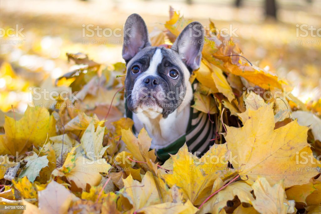 Cute Puppy French Bulldog Sitting In Yellow Leaves Stock Photo