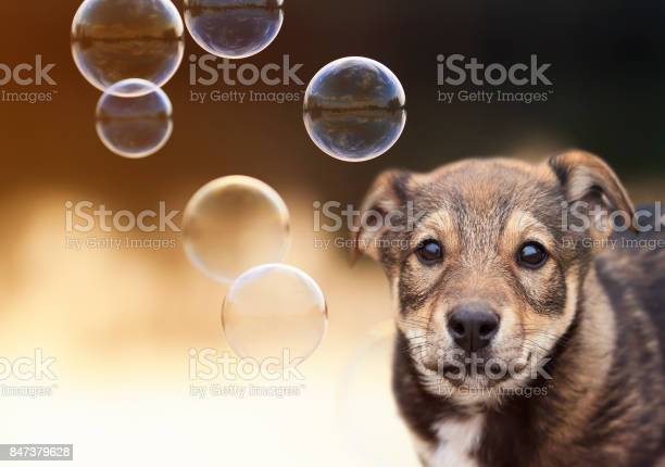 Cute puppy funny looks at the background of shiny soap bubbles on a picture id847379628?b=1&k=6&m=847379628&s=612x612&h=qr 2ovdnbz4impadx99ba ogp4 anqtoxes7ffehbqi=
