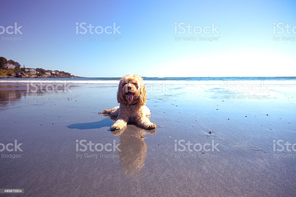 Cute Puppy Laying in Sand on Beach stock photo