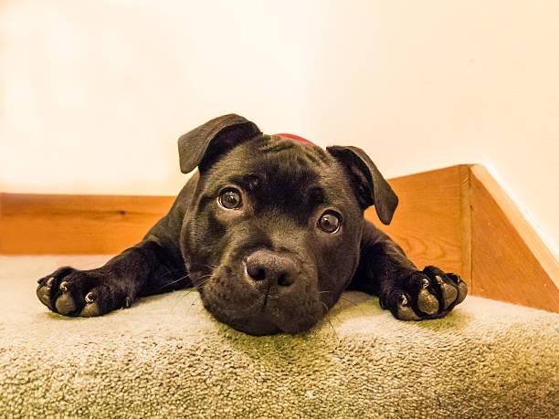 niedlichen welpen blick in die kamera liegen - pitbull welpen stock-fotos und bilder