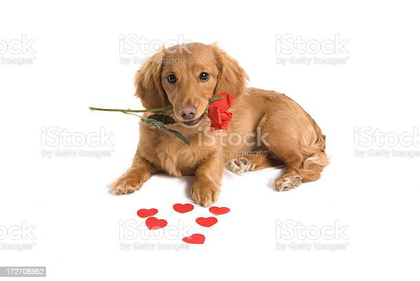 Cute puppy love picture id172708952?b=1&k=6&m=172708952&s=612x612&h=s9gw6aevlbi9wbs1sso2 vi9cyjgmwpv2gfg8o9ofm0=