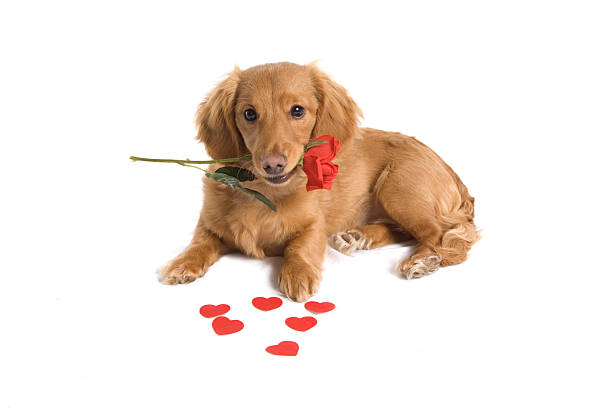 Cute Puppy Love Puppy with Single Red Rose in mouth and some Hearts spread around. Single white background. cute teen couple stock pictures, royalty-free photos & images