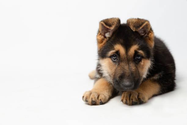 Cute puppy lying in surveillance potion german shepherd puppy with picture id1167814458?b=1&k=6&m=1167814458&s=612x612&w=0&h=tomwnvms0bggkvcdek4lutz89 f0jdhploifqetqmha=
