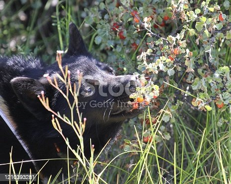 Cute little Schipperke puppy nibbles berries directly from a Flaming Red Currant bush