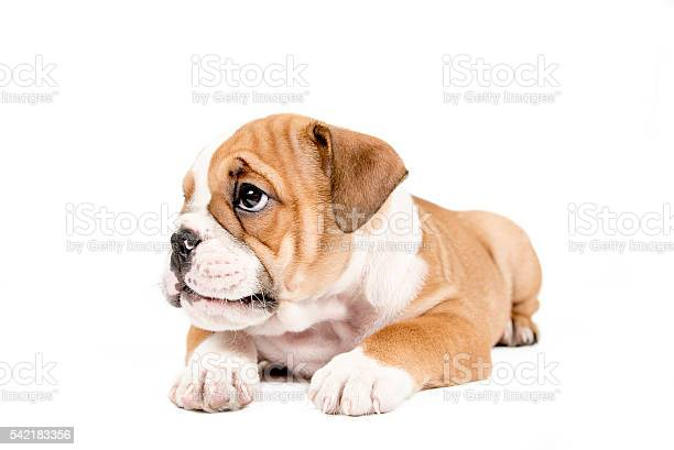 Cute puppy of english bulldog picture id542183356?b=1&k=6&m=542183356&s=612x612&h=ewyirddqu0vsy58fiumaxzmd8o3gj53dvyz5wanhhxg=