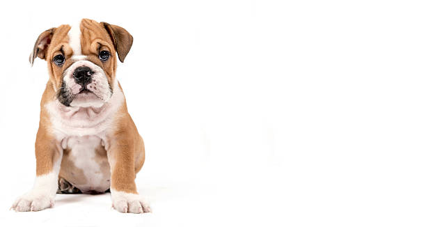 Cute puppy of english bulldog picture id542183988?b=1&k=6&m=542183988&s=612x612&w=0&h=upqhbo byepol7jg8tx i4fag8tvlwulza886yizvto=