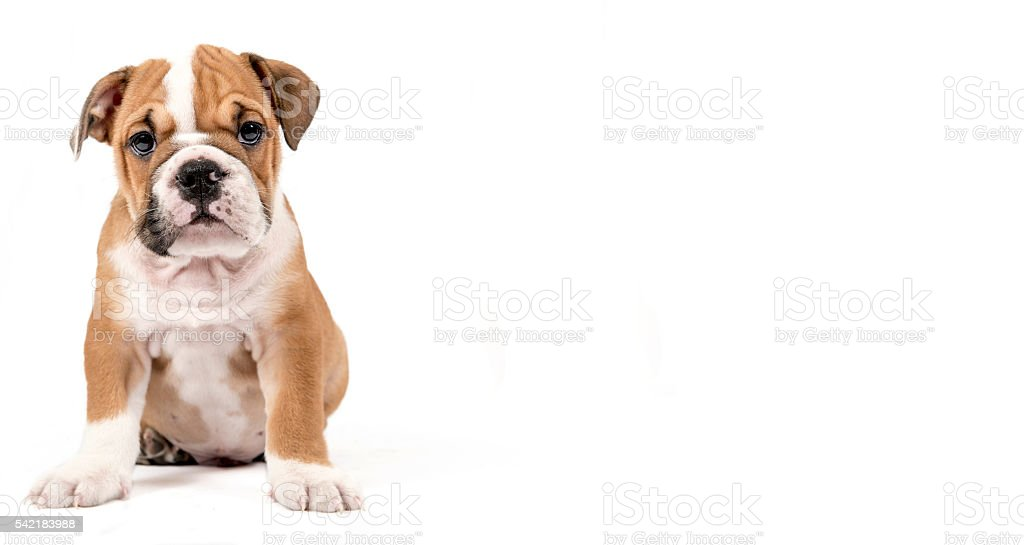 Cute puppy of English Bulldog - Photo