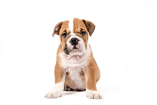 Cute puppy of English Bulldog stock photo