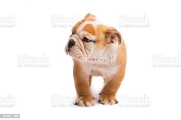 Cute puppy of english bulldog picture id884371152?b=1&k=6&m=884371152&s=612x612&h=ifolwfga4yfvs9kkftajkqynaziadu2zdvqmicwvd4y=