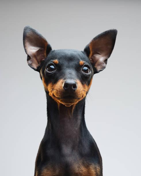 Cute puppy of miniature pinscher dog stock photo