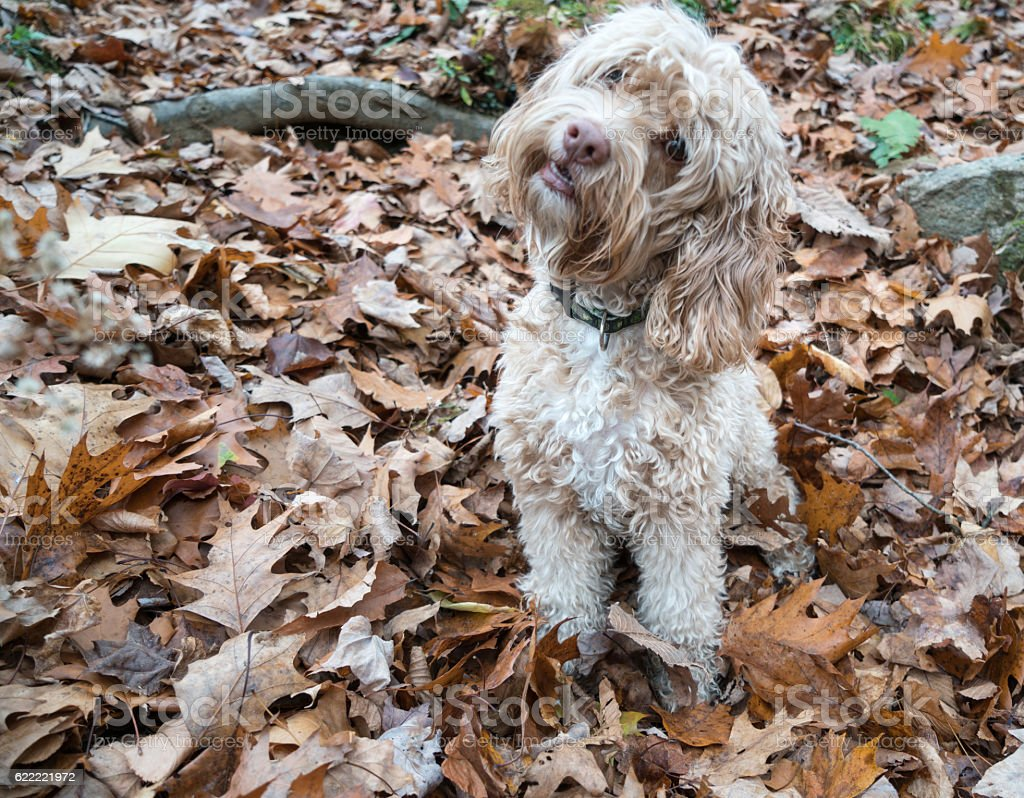 Cute Puppy on Autumn Leaves stock photo