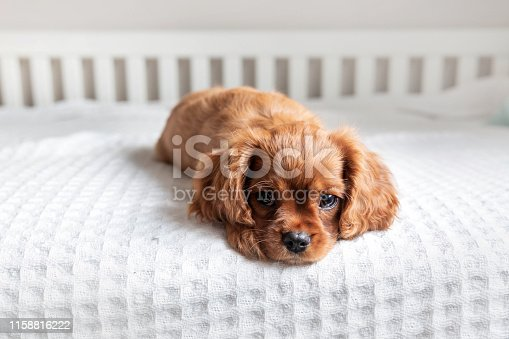 Cute puppy lying on the bed