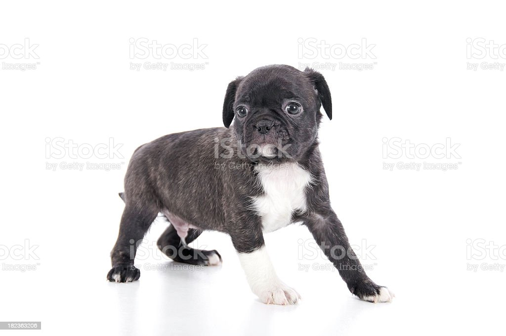 Cute Puppy On White royalty-free stock photo