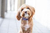 Cute brown puppy looking at camera.