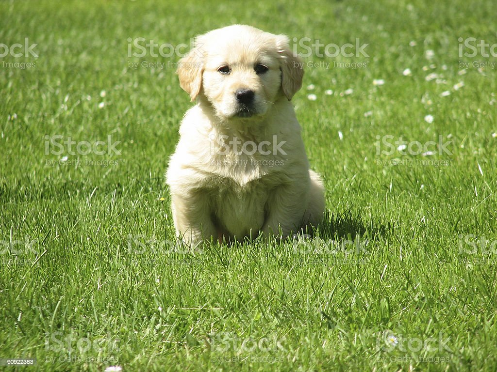 cute puppy royalty-free stock photo