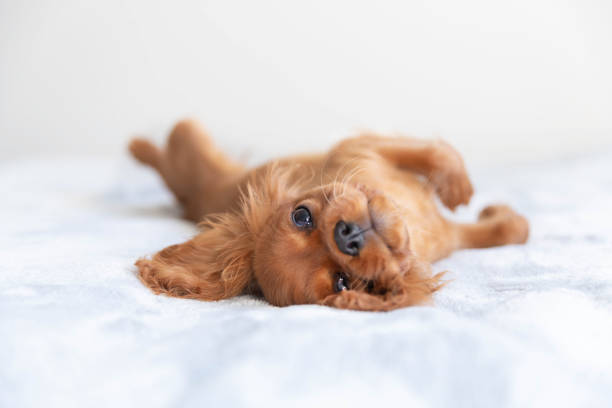 Cute puppy relaxing picture id1045347006?b=1&k=6&m=1045347006&s=612x612&w=0&h=hislgvqx7h6qzrgyvjmxg5che1b3txb2vmurdr6e  e=