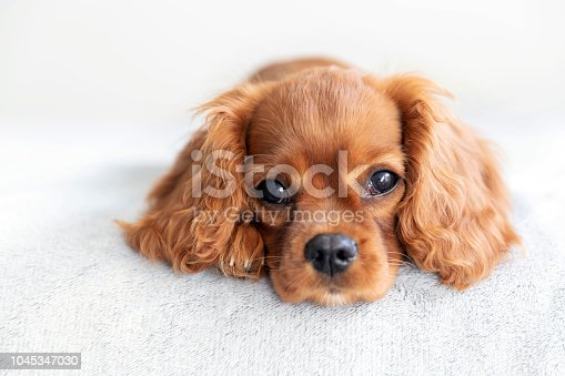 Cute puppy relaxing on the soft blanket