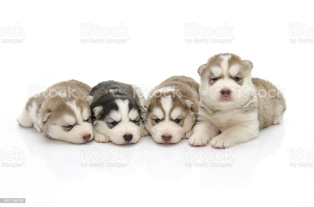 Cute puppy siberian husky on white,isolated stock photo