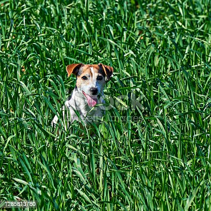 Cute puppy sits in tall green grass. Playful red and white dog jack russell play on farm meadow with copy space
