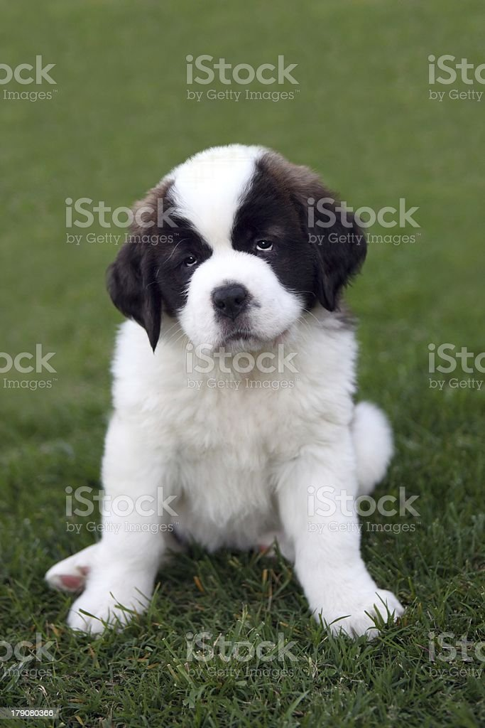 Cute Puppy Sitting in the Grass stock photo