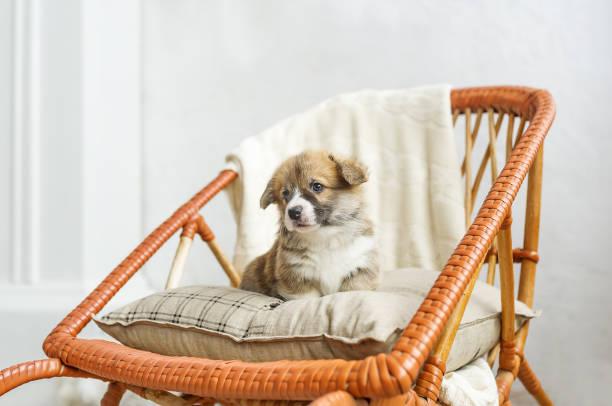 Cute puppy sitting up on wooden rockingchair picture id851957050?b=1&k=6&m=851957050&s=612x612&w=0&h=2e7nuhkvyrzru4sm8d6ekbwkuhkyidigv7n6reb lsw=
